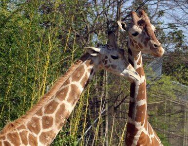 Władze zoo zdecydowały. Nie zabiją żyrafy