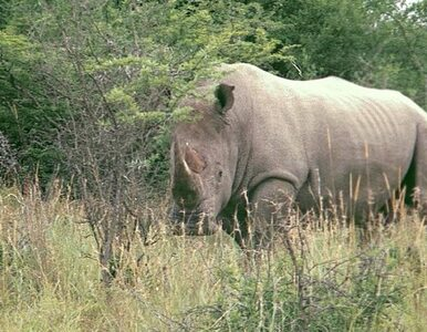 43-letni nosorożec biały chroniony całą dobę