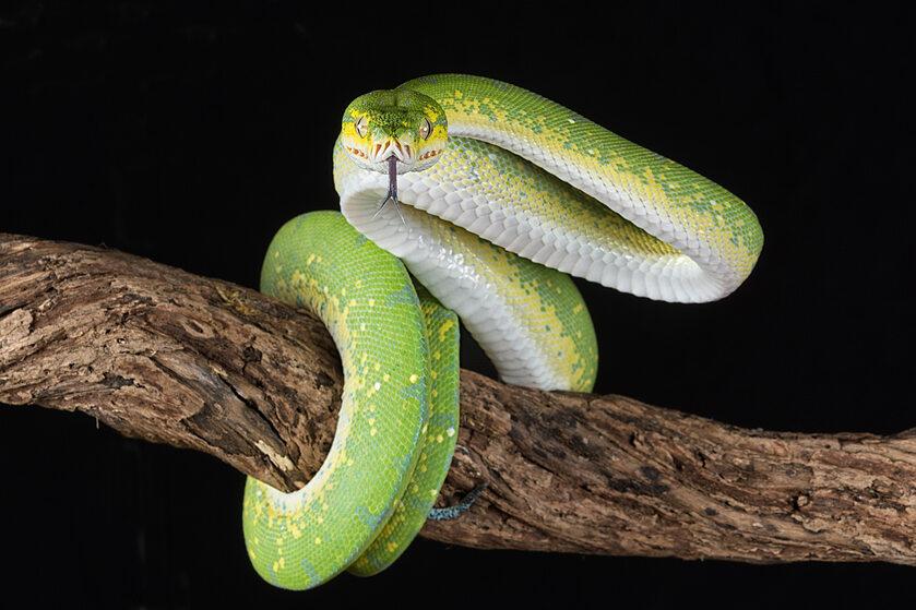 Istnieje pięć gatunków latającego węża