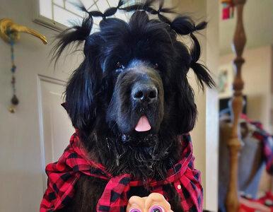 Na każdy dzień kwarantanny inna fryzura. Ten pies chętnie poddaje się...
