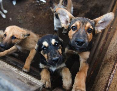 Przełomowy wyrok w Korei Płd. Zabijanie psów na mięso jest nielegalne