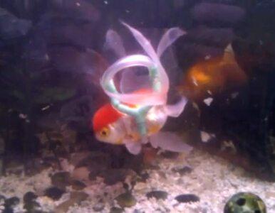 """32-latek stworzył """"wózek inwalidzki"""" dla złotej rybki"""