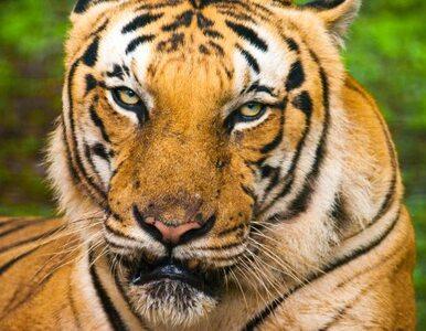 Di Caprio przekazał 3 mln dolarów... tygrysom z Nepalu