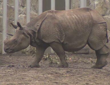 We wrocławskim zoo spalili róg nosorożca