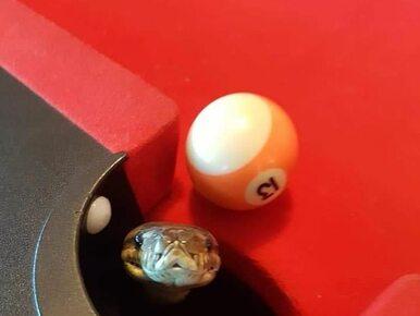 Dwumetrowy pyton ukrył się we wnętrzu stołu bilardowego. Na ratunek...