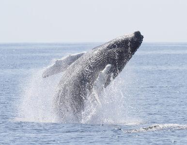 """Znaleziono 22 kg plastiku w ciele wieloryba. """"To kolejny tragiczny..."""