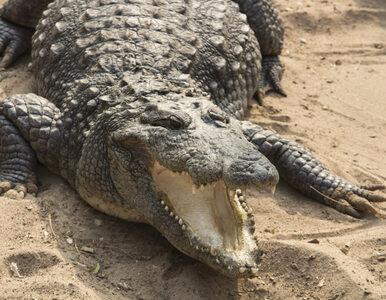 Złamał zasady kwarantanny i poszedł na ryby. Zjadł go krokodyl