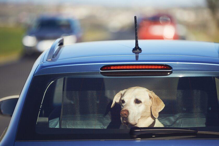 Pies w samochodzie, zdjęcie ilustracyjne