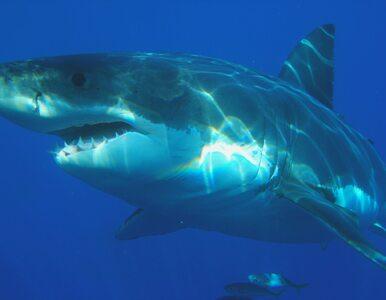 Ponad 30 gatunków rekinów u wybrzeży Chorwacji. W tym żarłacz ludojad