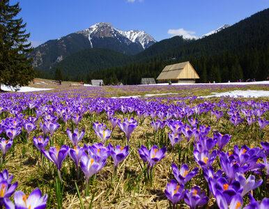 Tysiące turystów ruszyło w Tatry. Wszystko po to, aby zobaczyć kwitnące...