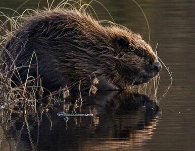 Polskie bobry nacierają na Niemcy