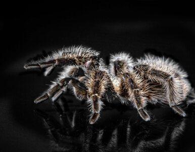 Jad pająka do uśmierzenia bólu i to bez skutków ubocznych? Nowe odkrycia