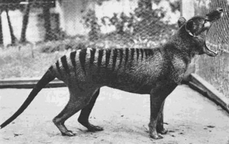 Ostatnie istniejące zdjęcie wikowora tasmańskiego (1933 rok)