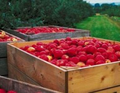 Ile będą kosztować jabłka?