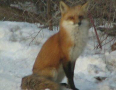 Podkarpackie: chciał zabić lisa, postrzeliił... żonę