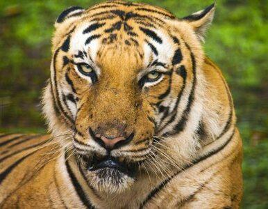 Tygrys Putina uciekł do Chin