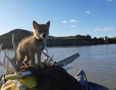 Podczas spływu tratwą wyłowił z wody kojota. Z uratowanym szczeniakiem...