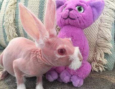 """""""Goły królik"""" miał zostać poddany eutanazji, ma wadę genetyczną. Teraz..."""