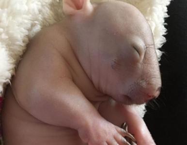 Urocza samica wombata. Poznajcie Elsie, która została cudem uratowana