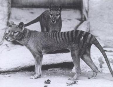 Wilkowory tasmańskie jednak istnieją? Szokujące doniesienia z Australii