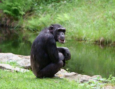 """Szympans """"osobą prawną""""? Tylko w Nowym Jorku"""