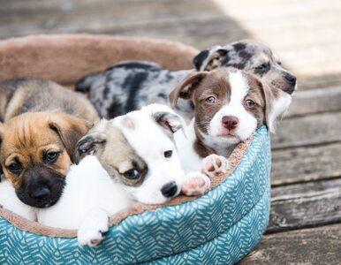 Quiz. Jesteś miłośnikiem psów? Spróbuj rozpoznać rasę na zdjęciu!