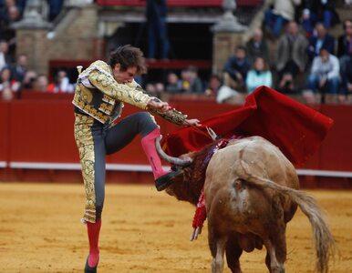 Przerażające sceny podczas korridy. Byk wbił się w nogę znanego matadora