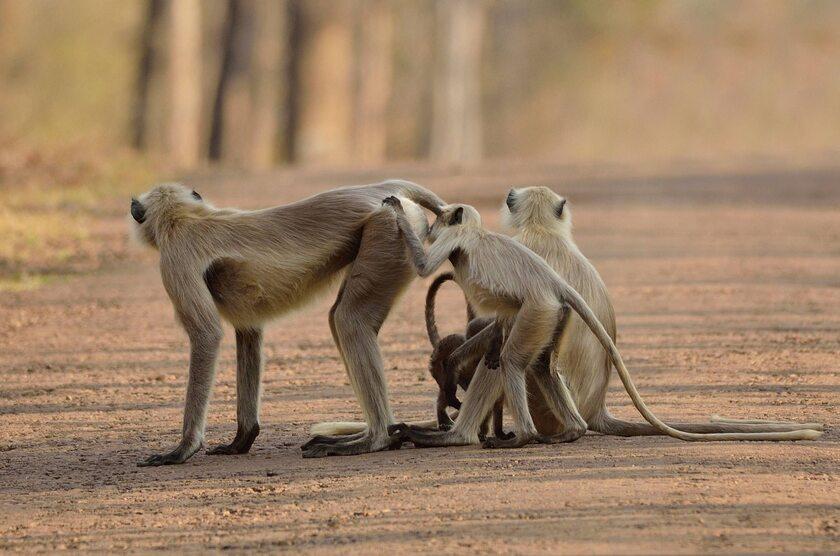 Małpy w Indiach, zdj. ilustracyjne