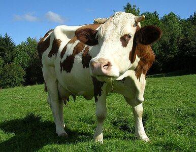 Krowa uciekła spod noża. Dwa dni straż i policja nie mogli jej znaleźć