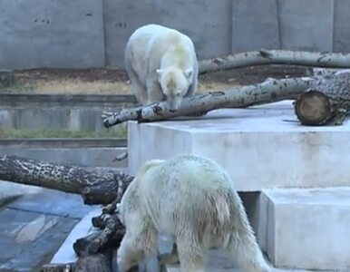 Jak niedźwiedzie radzą sobie z upałem? Jedzą lody