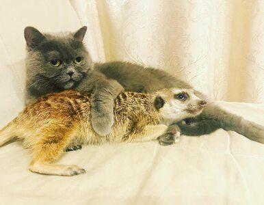 """Niezwykła przyjaźń połączyła surykatkę i kota. """"Nie chciałam, by..."""