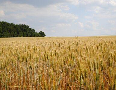 Zbiory zbóż niższe niż w 2008 roku. Ceny żywności pójdą w górę?